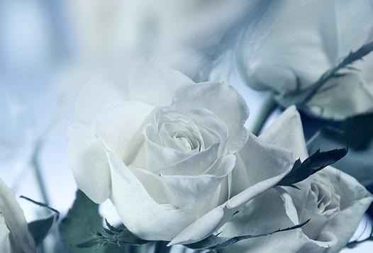 rosa_bianca